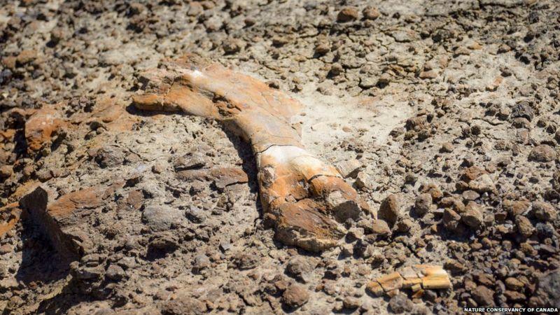 12-летний канадец нашел скелет редкого динозавра