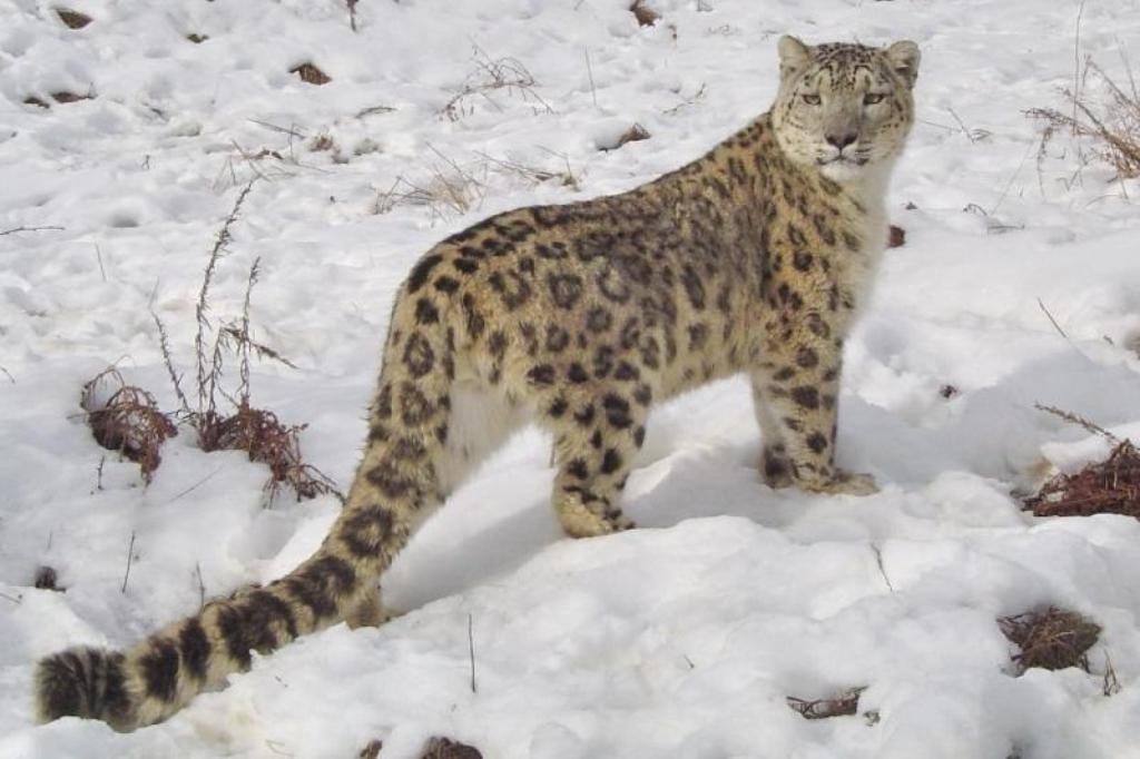 По следам ирбиса. В Таджикистане выпущен документальный фильм о снежном барсе