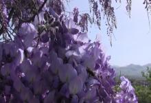 Тысячу сомони за штуку: кто выращивает самые дорогие цветы Таджикистана?