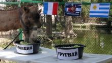 Оракул-верблюдица Марья предсказала победу Франции