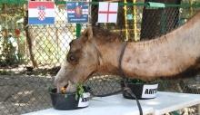 Оракул-верблюдица из Душанбинского зоопарка предрекает победу Хорватии