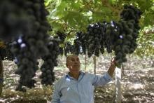 «Дамские пальчики», «Победа» и «Шохона»: в Турсунзаде в разгаре сбор винограда