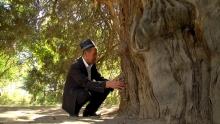 Какую историю хранят самые большие деревья Таджикистана?