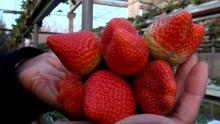 Как в Хатлоне вырастили первую зимнюю клубнику Таджикистана?