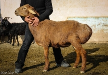 Как в Таджикистане зимуют гиссарские овцы?