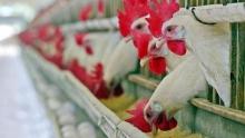 Цену снизить, объем увеличить: В Таджикистане думают над развитием птицеводческой продукции