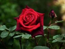 Как выращивают таджикские розы