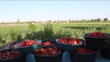 В Таджикистане небывалый урожай клубники