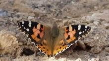 В Душанбе нашествие бабочек. Вредны ли они?