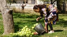 Зеленые осенью: в Таджикистане начался сезон кислых яблок