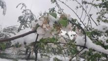 Таджикистан может остаться без фруктов. Апрельский снег нанес колоссальный ущерб сельскому хозяйству