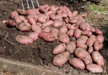 Тендер: Программа поддержки горных регионов ищет поставщиков семенного картофеля в Хатлон